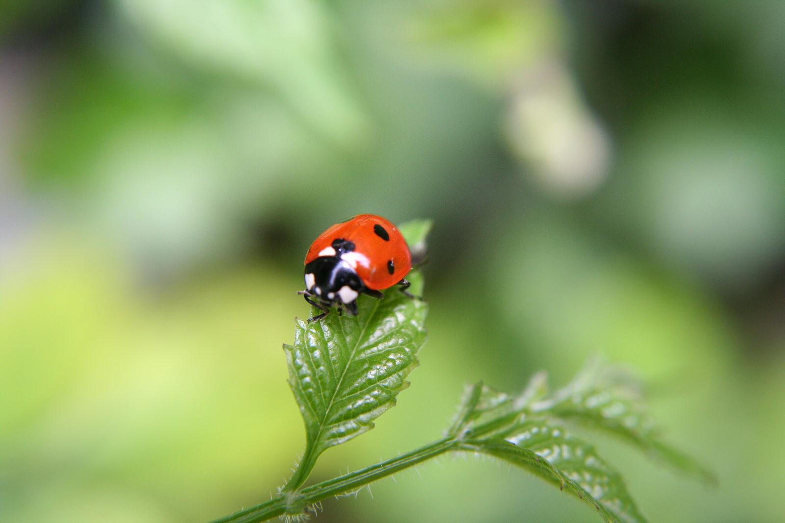 ladybugs-in-the-garden
